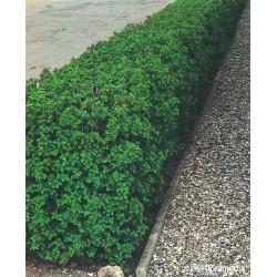 Ribes alpinum 'Schmidt'