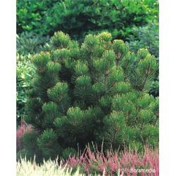 Pinus heldreichii 'Aureospicata'