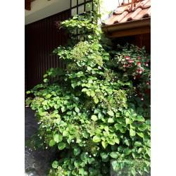 Hydrangea anomala subsp. petiolaris