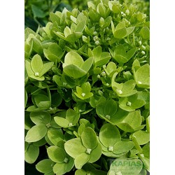 Hydrangea paniculata LITTLE LIME 'Jane'