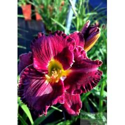 Hemerocallis 'Purplelicious'