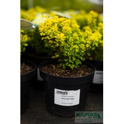 Berberis thunbergii 'Tiny Gold' PBR