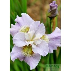 Iris sibirica 'Dawn Waltz'