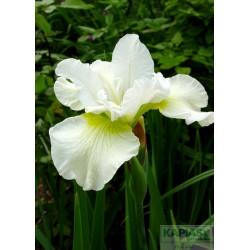 Iris sibirica 'Harpswell Happiness'