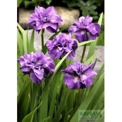 Iris sibirica 'Imperial Opal'