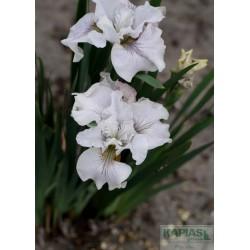 Iris sibirica 'Not Quite White'
