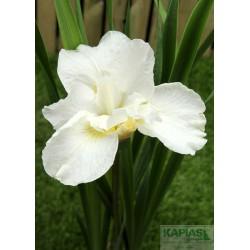 Iris sibirica 'Swan in Flight'