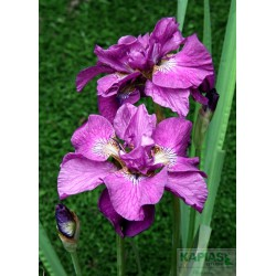 Iris sibirica 'Tumble Bug'