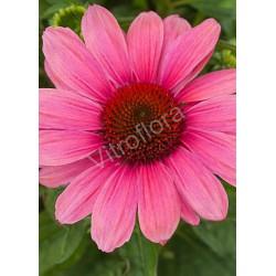 Echinacea 'Pink Pearl' PBR