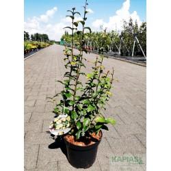 Parrotia persica PERSIAN SPIRE 'JLPN01' PBR