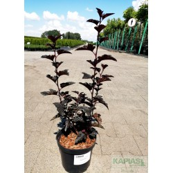 Physocarpus opulifolius 'Black Pearl'