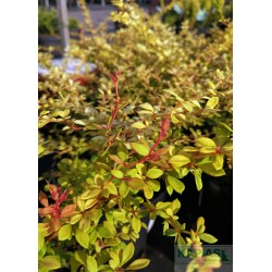 Berberis thunbergii 'Golden Dream' PBR