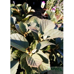 Fothergilla intermedia x 'Blue Shadow' PBR