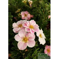 Potentilla fruticosa LOVELY PINK 'Pink Beauty' PBR