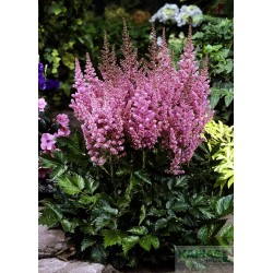 Astilbe chinensis 'Vision in Pink' PBR
