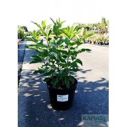 Hydrangea paniculata LITTLE FRESCO 'ROU201306' PBR
