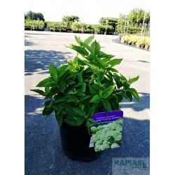 Hydrangea paniculata LITTLE SPOOKY 'GRHP08'