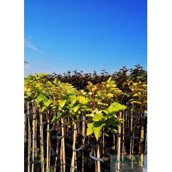 Physocarpus opulifolius 'Luteus' Pa