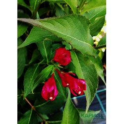 Weigela ALL SUMMER RED 'Slinco1' PBR