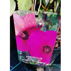 Hibiscus moscheutos PLANET GRIOTTE 'Tangri' PBR