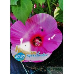 Hibiscus moscheutos 'Rose Clair'
