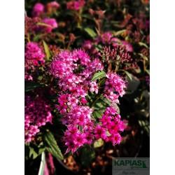 Spiraea japonica 'Dart's Red'