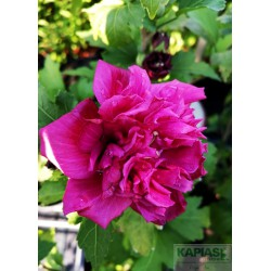Hibiscus syriacus FRENCH CABARET RED 'Mindour1'