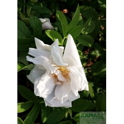 Rosa WHITE PERFECTION 'Schneeberg N 30'
