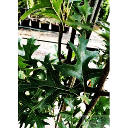 Quercus palustris GREEN PILLAR 'Pringreen'