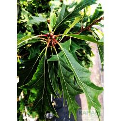 Quercus 'Mauri'