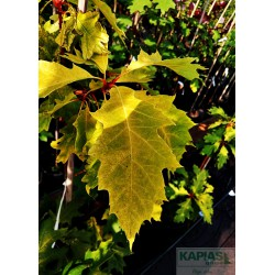 Quercus rubra 'Magic Fire'