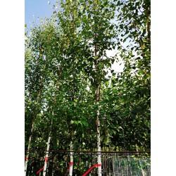 Betula pendula 'Zwitsers Glorie'