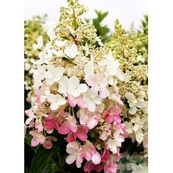 Hydrangea paniculata PINKY WINKY 'DVPPinky' PBR