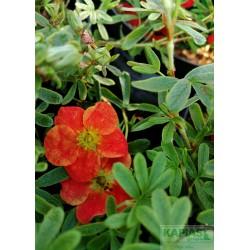 Potentilla fruticosa MARIAN RED ROBIN 'Marrob' PBR
