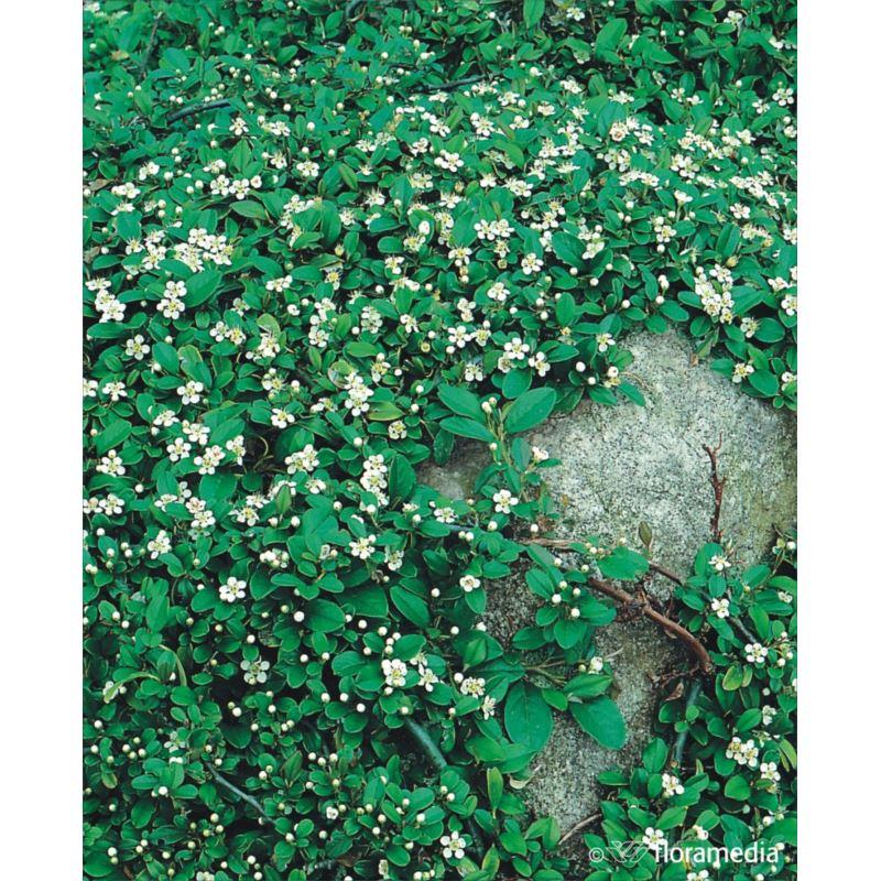 Cotoneaster dammeri 'Major'