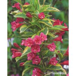 Weigela florida FRENCH LACE 'Brigela' PBR