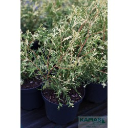 Thuja occidentalis 'Fehnsilber'