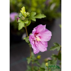 Hibiscus syriacus LAVENDER CHIFFON 'Notwoodone'PBR