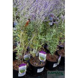 Perovskia atriplicifolia 'Little Spire' PBR