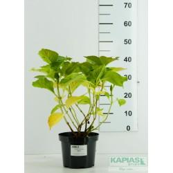 Hydrangea macrophylla 'Sibilla'