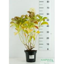 Hydrangea macrophylla 'Soeur Thérese'