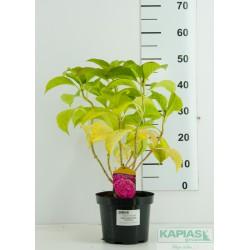Hydrangea macrophylla SWEET SEDUCTION 'Huakaifugui