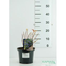 Hydrangea serrata Veerle 'Opri301' PBR