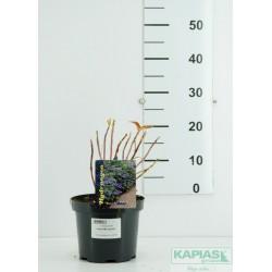 Hydrangea serrata 'Veerle' PBR