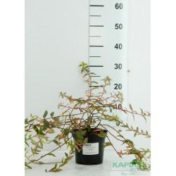 Hypericum moserianum x 'Tricolor'