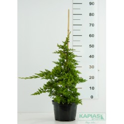 Juniperus procumbens 'Nana' - bambus