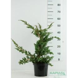 Juniperus squamata 'Meyeri'