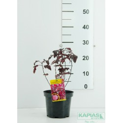 Physocarpus opulifolius 'Purple Horizon' PBR