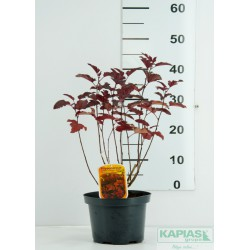 Physocarpus opulifolius DIABLE D'OR 'Mindia' PBR