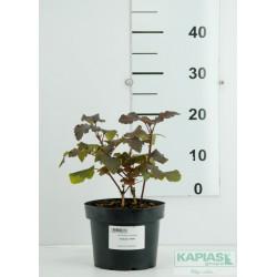 Physocarpus opulifolius 'Diabolo' PBR